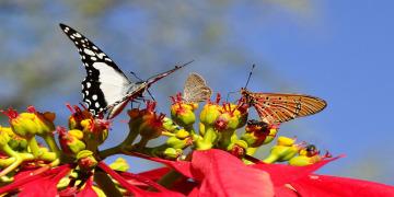 Wbutterflies-55052_960_720